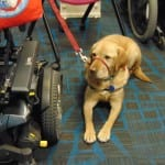 A service dog with a red leash.